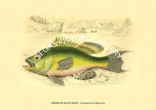 AMERICAN BLACK BASS - Centropristes Nigricans